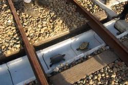 Lối thoát hiểm dành cho rùa chỉ có ở Nhật Bản