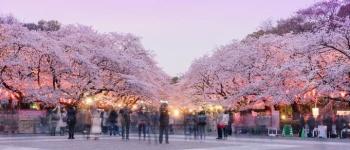 RỰC RỠ SẮC HOA ANH ĐÀO NHẬT BẢN 2018  NIKKO - YAMANASHI - TOKYO