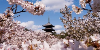 RỰC RỠ SẮC HOA ANH ĐÀO OSAKA – NAGOYA – YAMANASHI – TOKYO