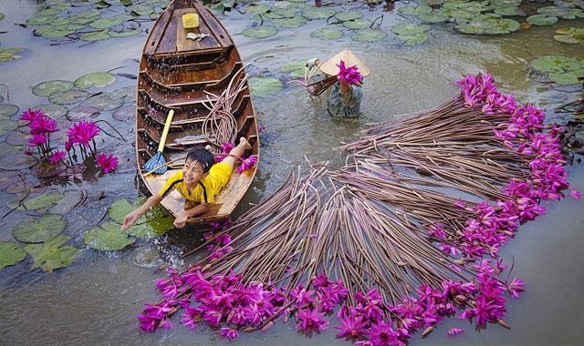Thu hoạch bông súng mùa nước lũ