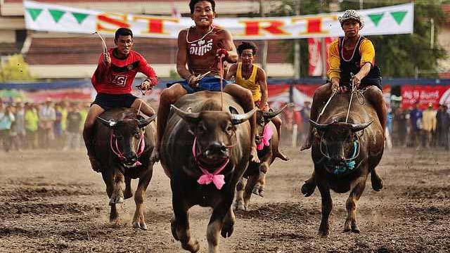 Lễ hội đua trâu Thái Lan - Buffalo racing festival Wing kwai