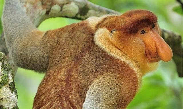 Rừng ngập mặn Klias nổi tiếng với loài khỉ mũi dài của Malaysia